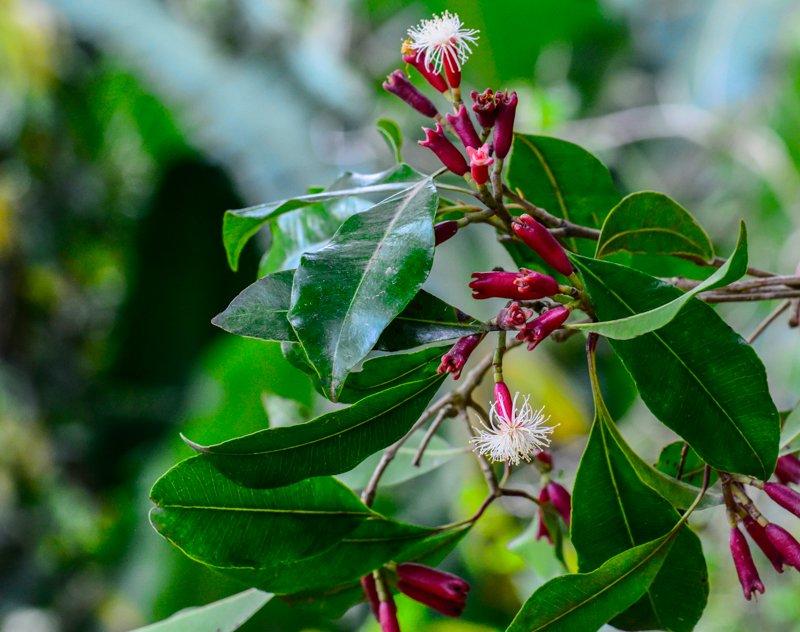 Gewürznelkenbaum Syzygium aromaticum, Myrtengewächs