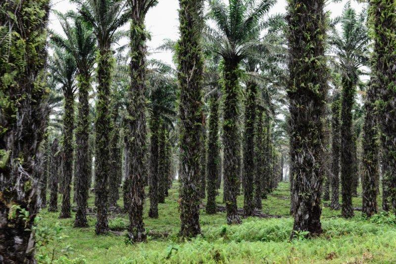 Palmen Kulturwald Plantage